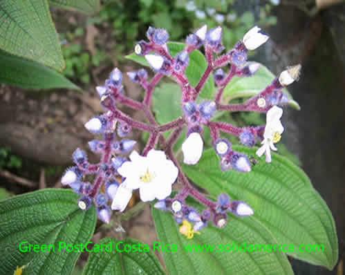 purple lkises