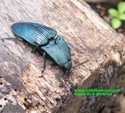 rare blue bug
