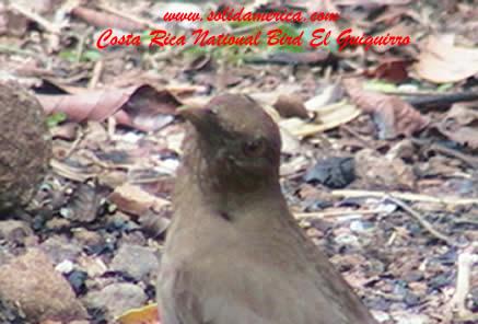 yiguirro bird