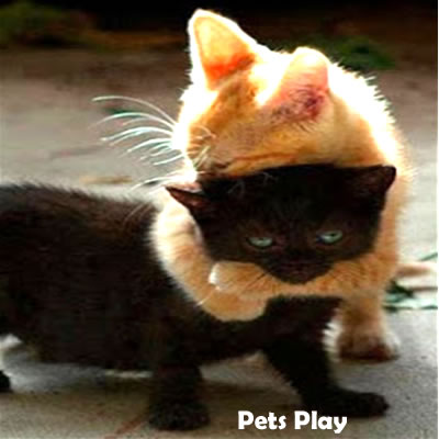 pets kitties play