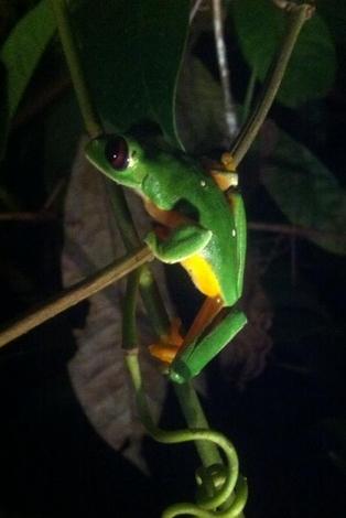 rana verde / green frog