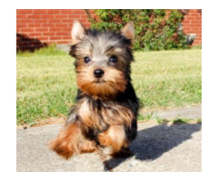 Cute Adorable Tiny Teacup Yorkie Puppies Are Available