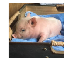 Pets For Sale American Mini Pig Breed Bottle Raised Pigs Weaned Bell