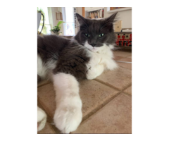 Lost Black And White Cat Wearing A Flea Collar