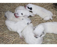 How Much Does A Pure Blue Heeler Puppy Cost Puppies
